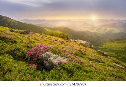 Frühlingslandschaft in den Bergen mit Blume eines Rhododendrons und der Morgensonne