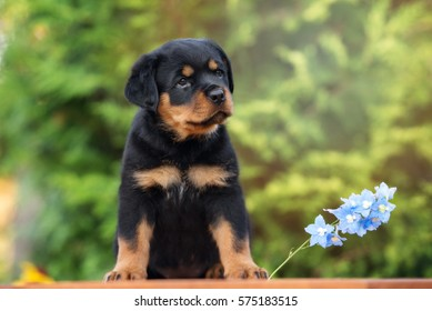 beautiful rottweiler puppy sitting outdoors