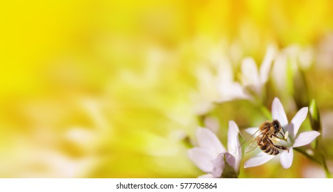 Bee on white flower close up macro while collecting pollen on orange blurred background, banner for website. Spring. Panorama. Blurred space for your text.