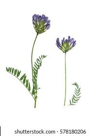 Astrágalo de flores prensadas y secas (astragalus dasyanthus), aislado sobre fondo blanco. Para uso en scrapbooking, floristería prensada (oshibana) o herbario.