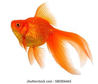 Goldfisch lokalisiert auf weißem Hintergrund
