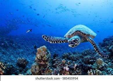 Tortuga, Polinesia Francesa