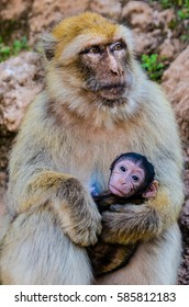Barbary macaque monkey (Macaca sylvanus) with its baby around Ouzoud falls, Morocco.