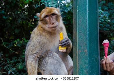 Barbary macaque monkey (Macaca sylvanus) with ice cream, Ouzoud falls, Morocco.