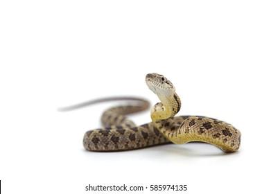 Pose de ataque de serpiente rata aislado sobre fondo blanco.