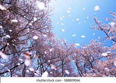 Khung cảnh tráng lệ của những cánh hoa anh đào bay bổng trong gió xuân. Tiêu điểm là các cây nền.