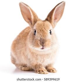 白い背景の上の視聴者に正面を向いて赤いウサギのウサギの肖像画