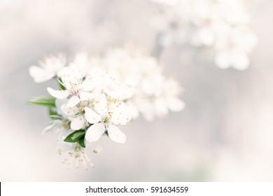 Abstrakter Frühlingssaisonhintergrund mit weißen Blumen, natürliches Osterblumenbild mit Kopienraum