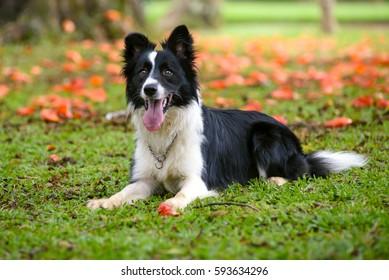 日当たりの良いdの草の上に横たわっている気配りのボーダーコリー犬