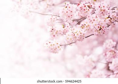 Kirschblüte in voller Blüte. Kirschblüten in kleinen Büscheln auf einem Kirschbaumzweig, der weiß wird. Geringe Schärfentiefe. Konzentrieren Sie sich auf den mittleren Blütenhaufen.