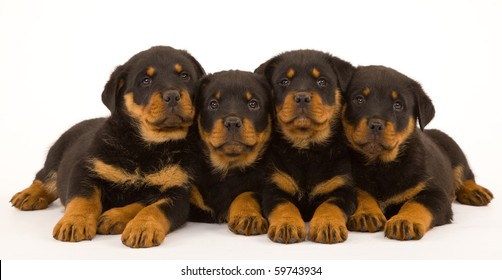 4 Rottweiler puppies on white background