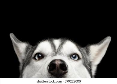 孤立した黒い背景、正面図に青い目で覗くシベリアンハスキー犬のクローズアップヘッド