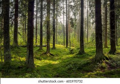 Dark forest background. Karelia forest trees