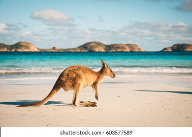 Känguru bei Lucky Bay im Cape Le Grand National Park nahe Esperance, Westaustralien