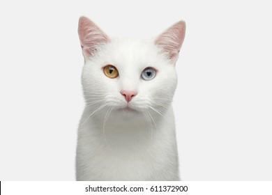 Retrato de gato blanco puro con ojos extraños sobre fondo aislado