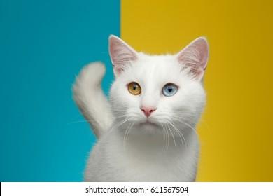 Retrato de gato blanco puro con ojos extraños y cola sobre fondo azul y amarillo brillante, vista frontal