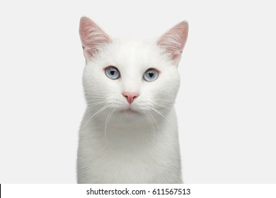 Retrato de gato blanco puro con ojos azules sobre fondo aislado, vista frontal