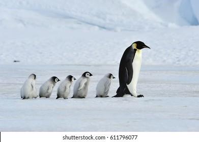 ひよこと一緒に皇帝ペンギン