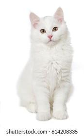 Gatito blanco maine coon