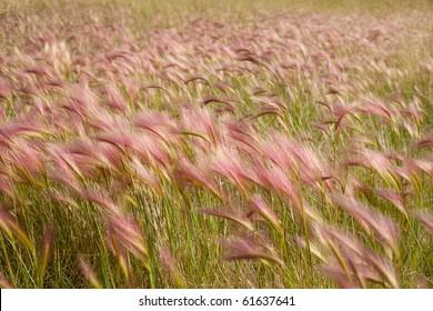 Cebada de cola de zorro madura, también conocida como hierba de cola de ardilla (Hordeum jubatum) con tinte rojo en los tallos de las semillas.