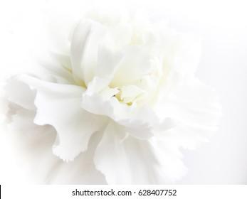 Weißer Blumenhintergrund. Makro der weißen Blütenblattbeschaffenheit. Weiches verträumtes Bild