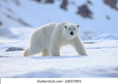 Eisbär (Ursus maritimus),