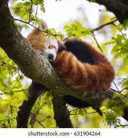 レッサーパンダ、ファイアフォックス、キャットベアとも呼ばれ、木の枝で眠っています。この生き物はヒマラヤと中国に固有のものです。