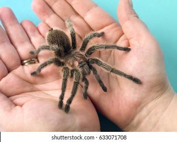 男の手にタランチュラのクモ