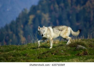 山の犬チェコスロバキアの狼犬の肖像画