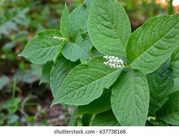 White flowers of Chloranthus serratus (Futari-shizuka in japanese)
