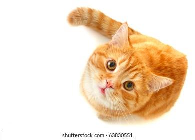 見上げる猫-白で隔離