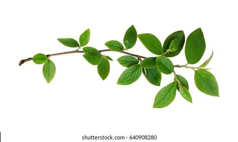 Frischer grüner Blattzweig lokalisiert auf weißem Hintergrund