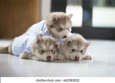 Śliczny szczeniak husky syberyjski, trzy białe dziecko w brązowym kolorze, czekający, aż ludzie będą się z nimi bawić i spać, bawić się, drzemać i odpoczywać.