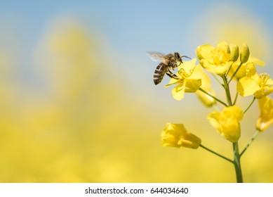 Honigbiene sammelt Pollen auf gelber Rapsblume gegen blauen Himmel