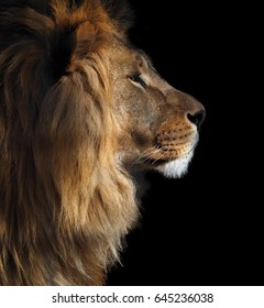 Lion's profilportrett fra høyre isolert i sort