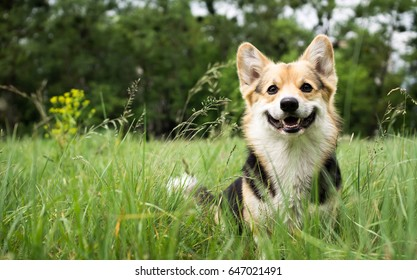 Happy and active purebred Welsh Corgi dog outdoors in the grass on a sunny summer day.
