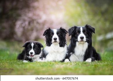かわいい愛らしい黒と白のボーダーコリー家族敷設