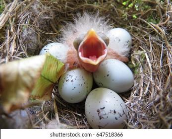 孵化していない5個の卵に囲まれた巣の中で孵化したばかりの赤ちゃんパープルハウスフィンチ。