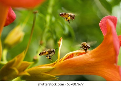 Flying Honey bee collecting pollen from orange flower with sunlight of spring season