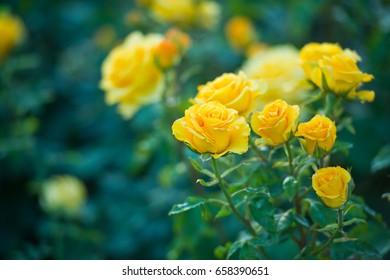 Schöner Busch der gelben Rosen in einem Frühlingsgarten. Rosengarten.