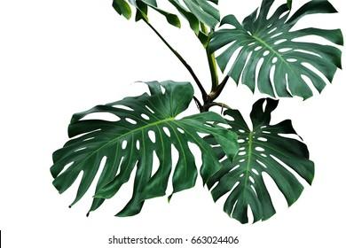 Dunkelgrüne Blätter von Monstera oder Split-Leaf-Philodendron (Monstera deliciosa), der tropischen Laubpflanze, die wild isoliert auf weißem Hintergrund wächst, einschließlich Schnittpfad.