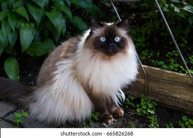 Chocolate point doll-faced himalayan cat with striking light blue eyes sitting in garden staring intently