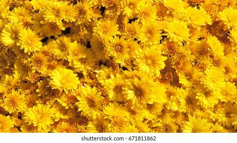 Flor amarilla de la trama de fondo de la flor de la margarita de los crisantemos.