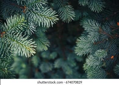 Brunch de abeto de cerca. Enfoque superficial. Brunch de abeto esponjoso de cerca. Concepto de papel tapiz de Navidad. Copie el espacio.