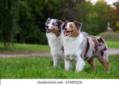 Two australian shepherd dogs standing