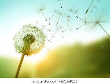 Löwenzahnsamen, die im Wind über einen Sommerfeldhintergrund wehen, konzeptuelles Bild, das Änderung, Wachstum, Bewegung und Richtung bedeutet.