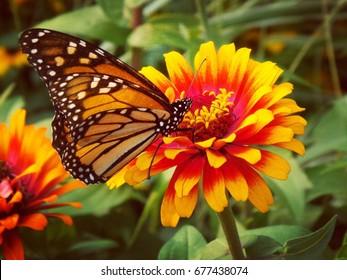 Monarchfalter auf einer Blume