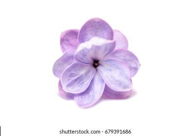 Flieder einzelne Blume lokalisiert auf einem weißen Hintergrund