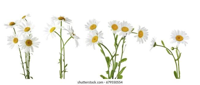 Collage der schönen Kamillenblumen auf weißem Hintergrund