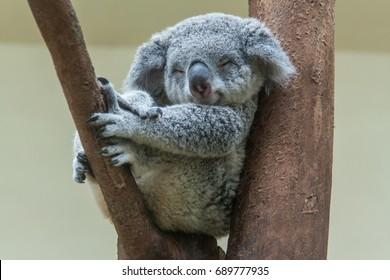 koala rusten en slapen op zijn boom met een schattige glimlach